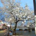 那珂川沿いの桜